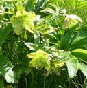 helleborus_viridis1 (hellébore vert)