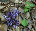 lathraea-clandestina2  16-05-12 lavelanet