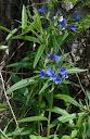 Lithospermum-purpurocaeruleum