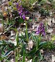 orchis-mascula01 14-04-13 roumengoux