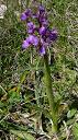orchis-morio01