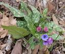 pulmonaria-longifolia1 avignonet 10-03-13