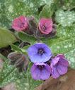 pulmonaria-longifolia2 avignonet 10-03-13