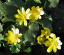 ranunculus-ficaria1 ssp bulbilifer